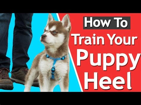 how to teach a puppy to heel how to your to stop pulling on leash without doovi