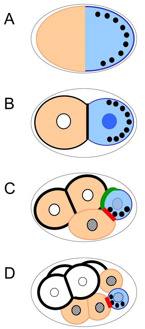pattern formation asymmetry asymmetric cell division and axis formation in the embryo