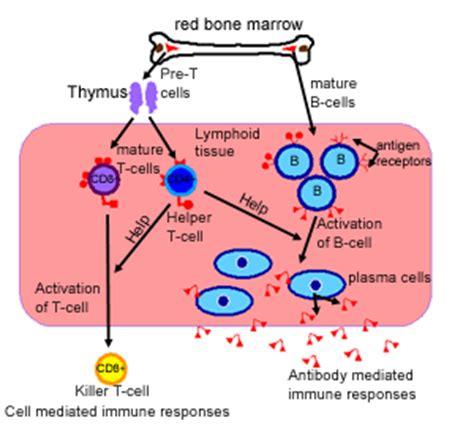 diagram of lymphocytes histology guide lymphoid