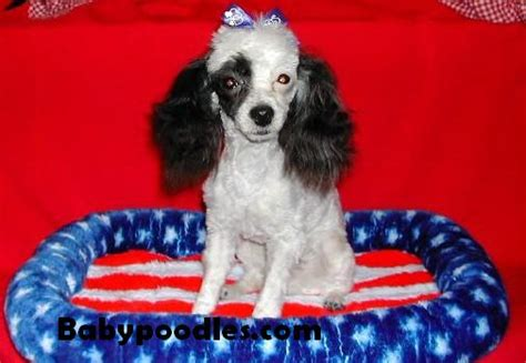 puppies for sale in victorville ca poodle puppies for sale in california