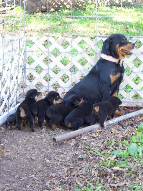 rottweiler puppies for sale in south carolina blockhead rottweiler breeds picture