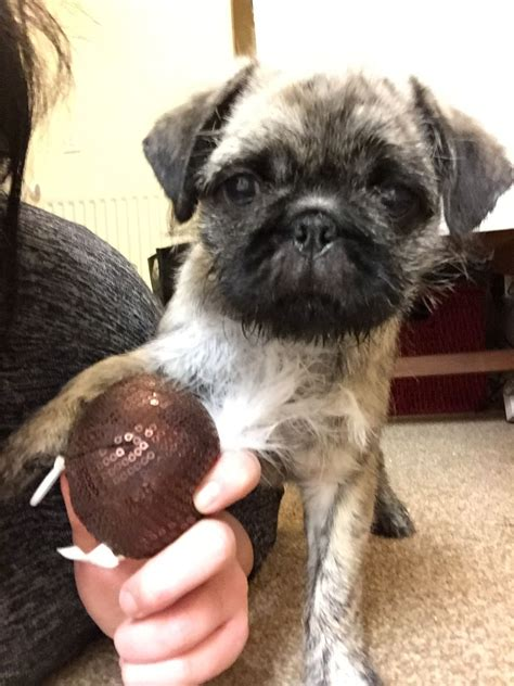 prices for pugs pug x for sale reduced price catterick garrison pets4homes