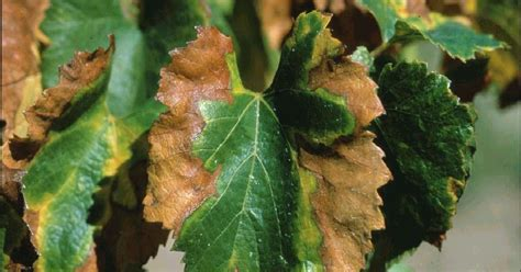 names of bacterial diseases in plants of bacteria and plant pathogen focus s