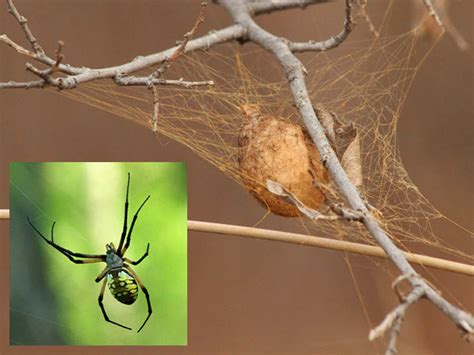 Yellow Garden Spider Egg Sac Black And Yellow Garden Spider Egg Sack Dfw Wildlife
