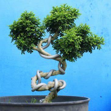 Tanaman Kemuning Micro tanaman bonsai kemuning micro pusaka dunia