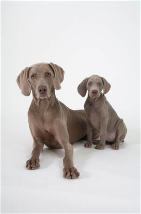 puppy adolescence surviving our s adolescence smart animal systems