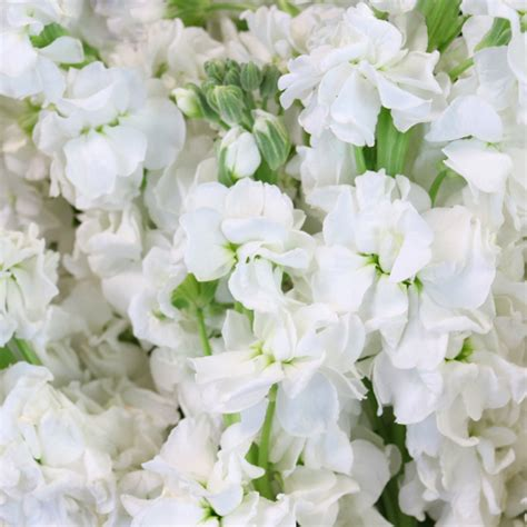 White Flowers by White Stock Flower Www Pixshark Images Galleries