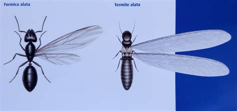 formiche volanti la differenza tra termiti e formiche alate news