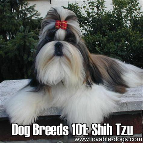 shih tzu 101 lovable dogs breeds 101 shih tzu lovable dogs