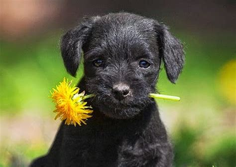 Maravillosa  Ramos Grandes De Flores #6: Perro-con-clavel-chino1.jpg