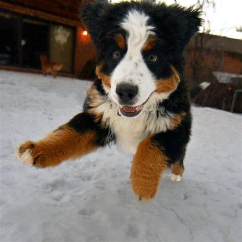 bernese mountain breeders ny breeders bernese mountain breed dogs spinningpetsyarn