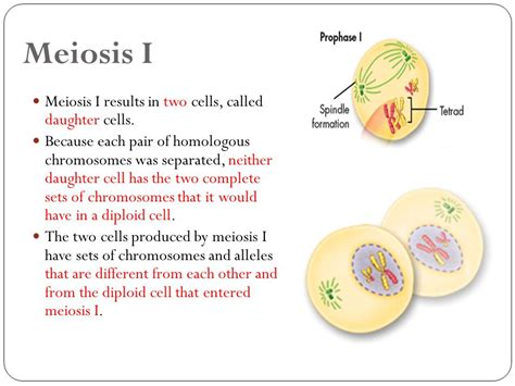 section 11 4 meiosis answers meiosis section 11 4 28 images unit 3 cell division