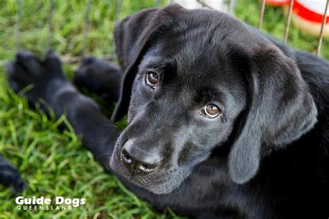 guide puppy raising raising a guide and raising awareness guide dogs queensland brisbane