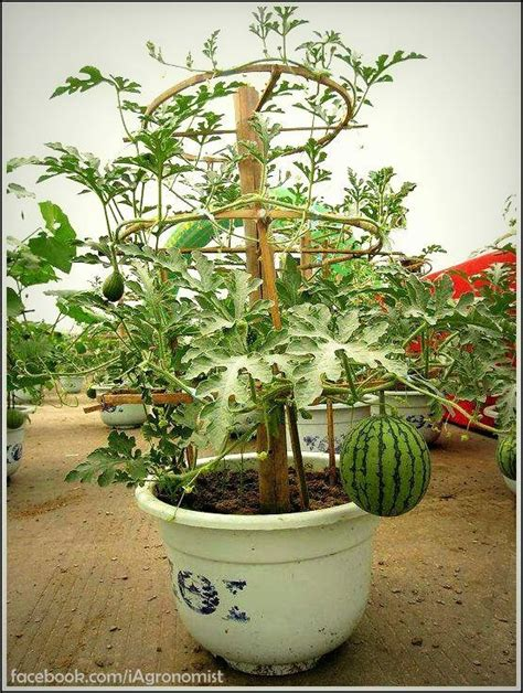 container gardening watermelon growing watermelon in containers wizard garden