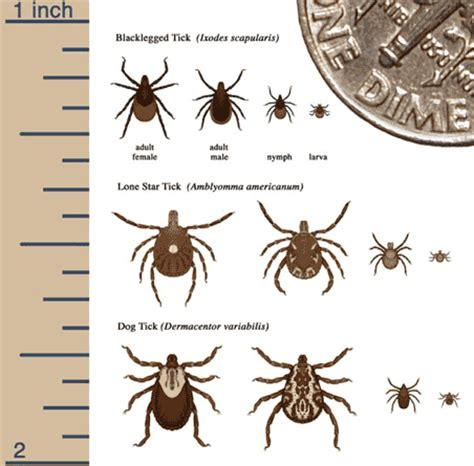 can ticks kill dogs stop fleas and ticks on dogs alternatives to frontline medicine the three