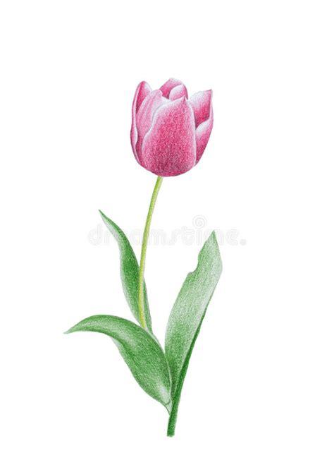 fiore tulipano fiore tulipano fotografia stock immagine 16215492