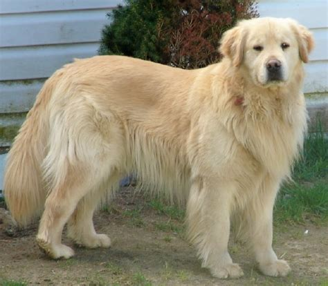 different types of golden retrievers top 10 most intelligent breeds in the world omg top tens list
