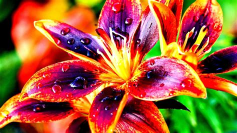 colorful images lilies nature colorful flowers high contrast hd wallpaper