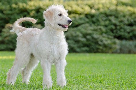 goldendoodle or golden retriever goldendoodle