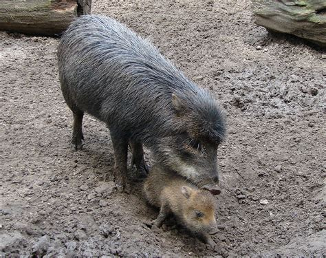 ecology conservation and management of pigs and peccaries books white lipped peccary