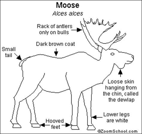 elk anatomy diagram image gallery moose anatomy