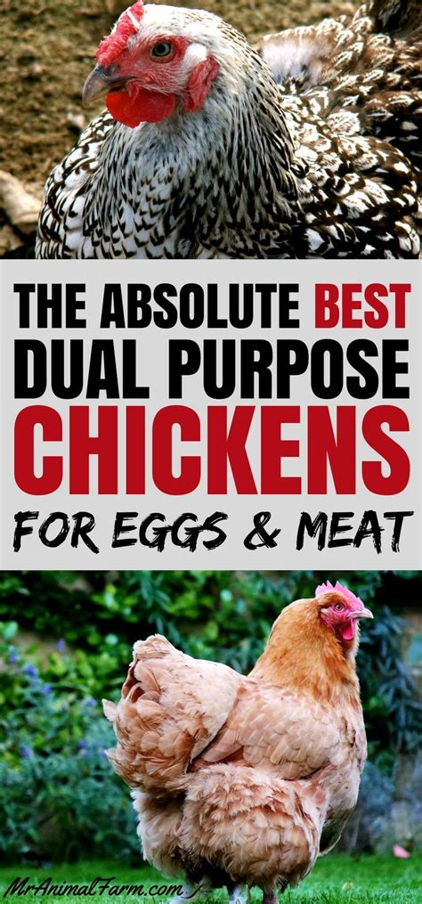 chicken breeds ideas  pinterest hens chicken
