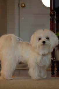 pictures of hairstyles for maltese dogs maltese dog haircuts