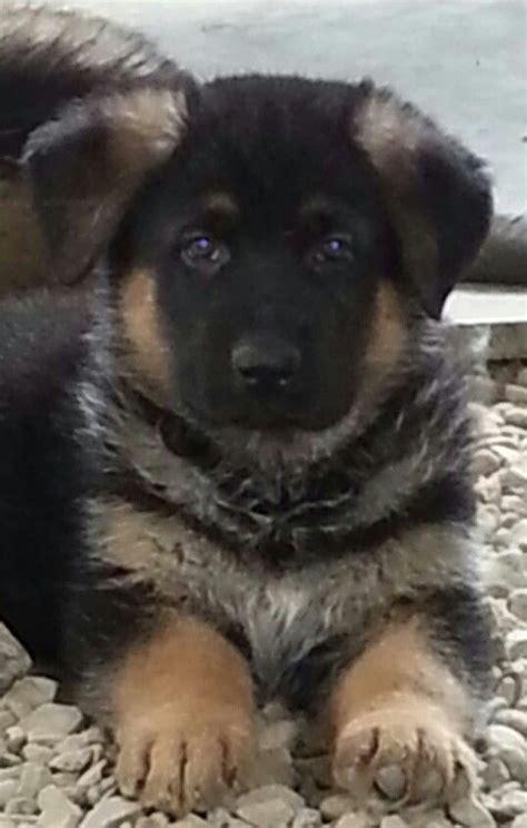 6 week german shepherd puppies pin by novy on guardian shepherds nescopeck pa usa