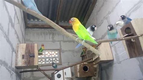 Ukuran Tempat Pakan Burung kandang koloni burung lovebird