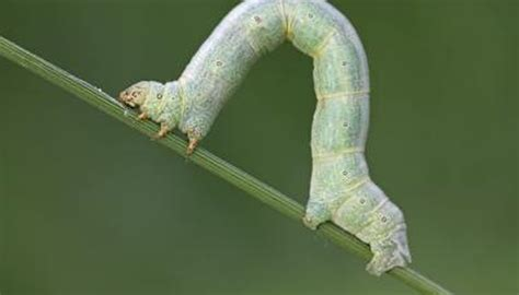 the inchworm inchworm life cycle sciencing