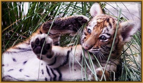 imagenes chidas tigres uanl ver imagenes de tigres chidos imagenes de tigres