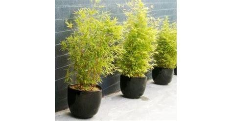 jual tanaman bambu kuning mini hp