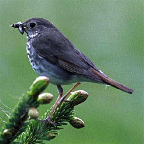state birds vermont vt state bird list of 50 state birdes of the