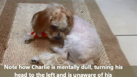 encephalitis dogs encephalitis seizures circling southeast veterinary neurology