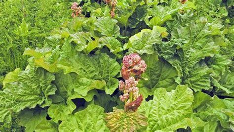 rhabarber pflanzen pflegen und ernten ndr de ratgeber