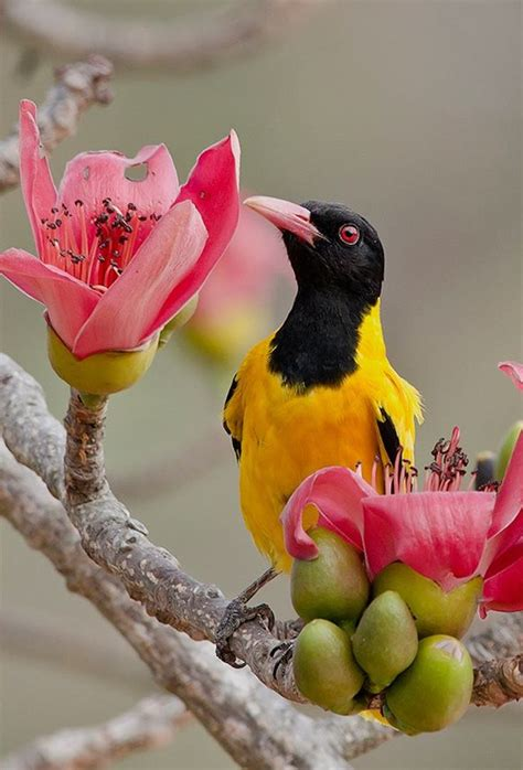black hooded oriole things i want to paint pinterest