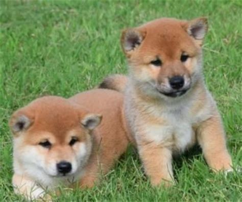 shiba inu puppies for sale california shiba inu puppies for sale los angeles ca 202108 petzlover