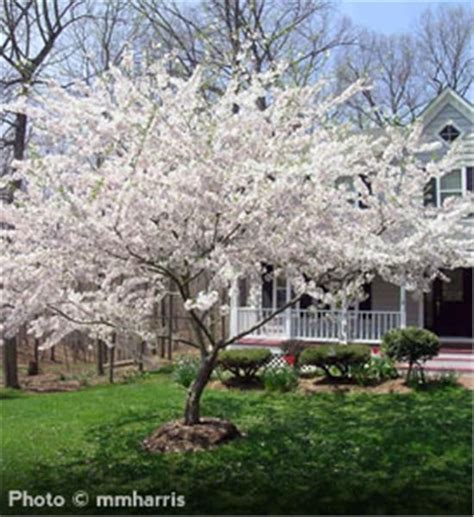 33 cherry tree 17 best ideas about yoshino cherry tree on japanese cherry tree flowering cherry