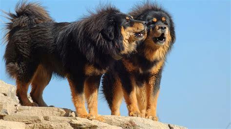 Pictures Of Tibetan Mastiffs tibetan mastiff dogs information and pictures all