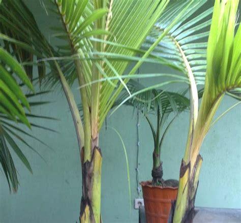 Bibit Kelapa Puyuh Hibrida bonsai kelapa mini kelapa abnormal unik cabang kembar
