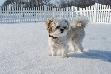 grown shih tzu 186 best images about tiny mal shi on teacup maltese puppies