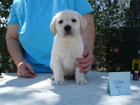 puppies for sale in albuquerque aristes labrador retrievers ch aristes fresca