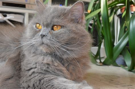 breeds and personalities cat breeds longhair cat characteristics and personality dogalize