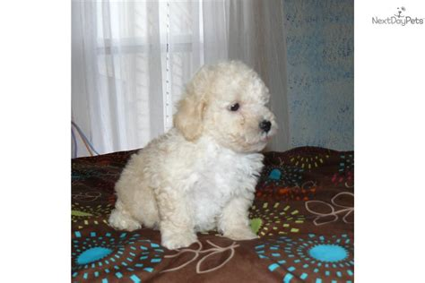bichon poodle rescue indiana yorkie maltese mix puppy buddy breeds picture