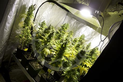 indoor cannabis cultivation basics philosopher seeds
