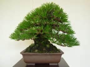 bonzi tree beautiful bonsai tree 123bonsai