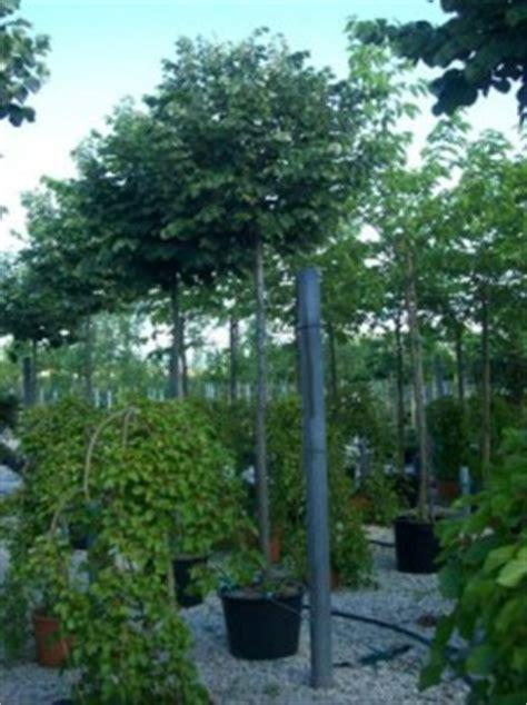 Immergr Ne Pflanzen F R Sonnige Standorte 224 by Immergr 252 Ne Und Winterharte Pflanzen F 252 R Einen Beton Trog