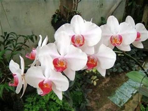 Anggrek Bulan Putih Blentong Merah agar anggrek tumbuh dengan baik phalaenopsis amabilis