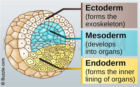 pattern formation ectoderm information about the 3 germ layers in animals