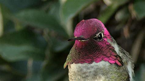 colibri gif  gif images